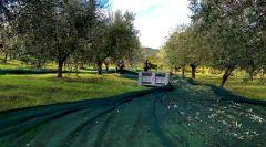 Panizzi Raccolta Olive 2020